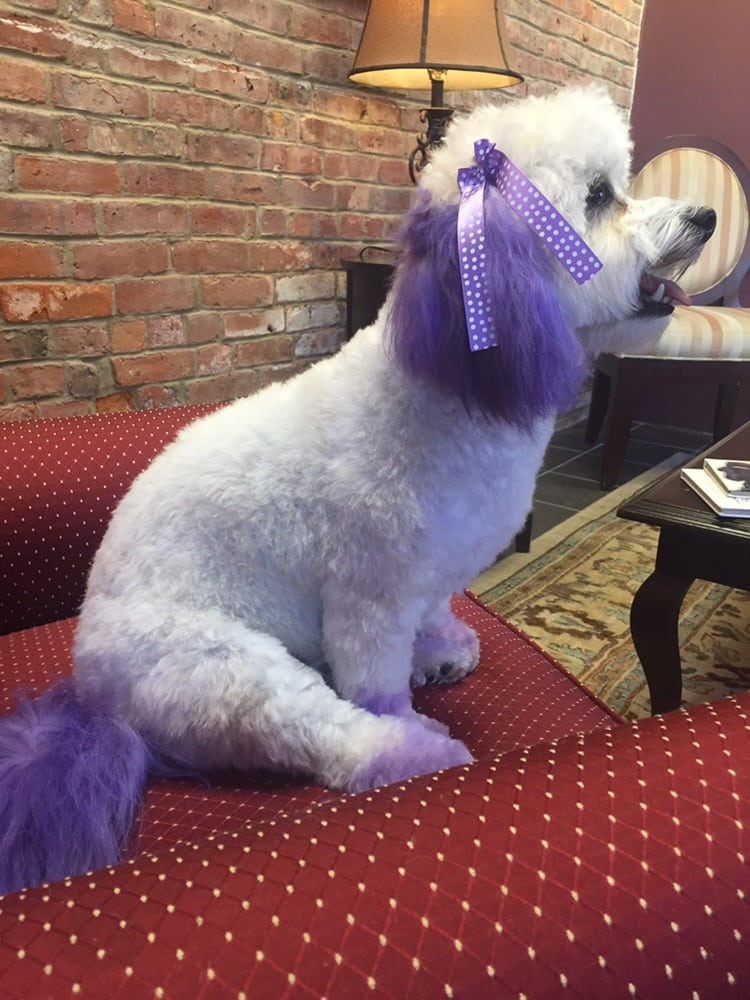 lucy.bichon.purple